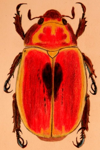 Art Project: Beetle (colored pencils)