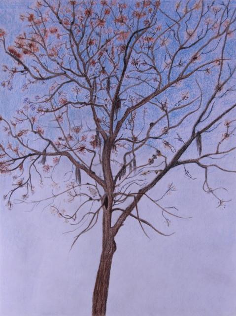 Chinaberry Tree 004_3_1