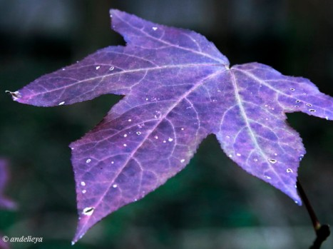 Purple Leaf_1