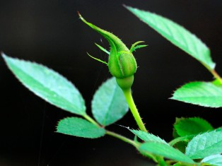 Fresh Rose Bud