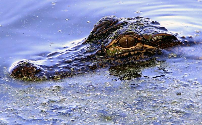Alligator_1