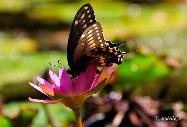 butterfly-and-lotus2